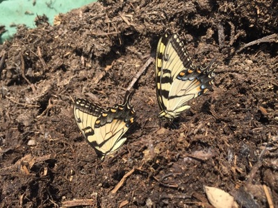 Swallowtail and other butterfly pollinators like compost nutrients